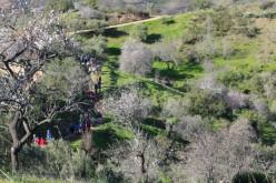 Más de 400 personas participan en el XI Paseo 'Almendros en Flor'