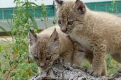 Cuatro nuevas crías de lince ibérico en Silves