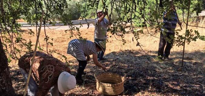 De recogida de algarrobas por el Algarve