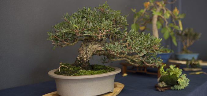 """Sítio das Fontes organiza """"Taller de bonsáis"""""""