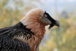 Fundación Conservación del Buitre rompe récord mundial de nacimientos