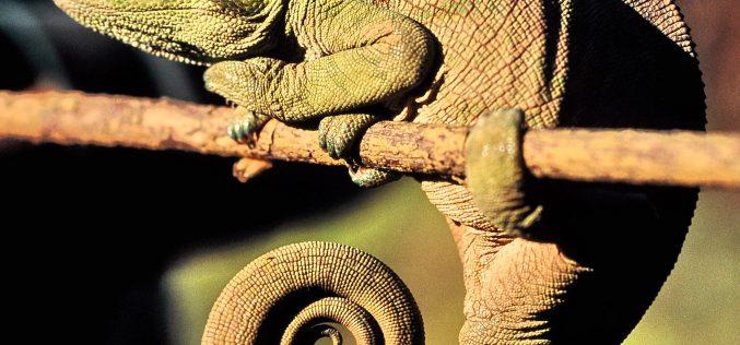 Nace el Centro de Investigación y Recuperación del Camaleón